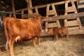Малі фермери частіше роблять вибір на користь мініатюрних порід корів