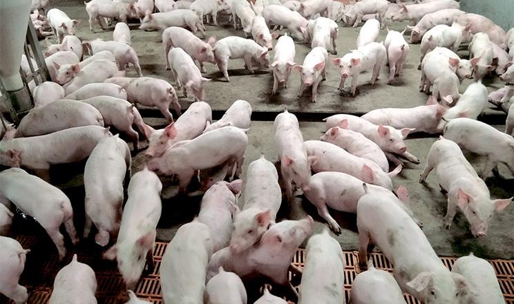 Як на Глобинському свинокомплексі контролюють щільність поголів'я