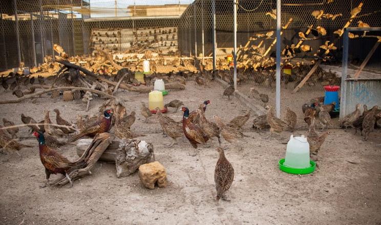 У Криму фермери виробляють м'ясо та яйця фазанів