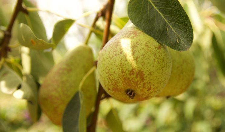 Садівник спрогнозував високу ціну на грушу