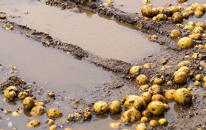 Урожай картоплі в Росії під загрозою дощів та заморозків