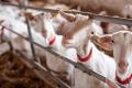 Козина ферма: комфорт для тварин і власна сироварня