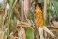 Найвища урожайність кукурудзи наразі на Житомирщині