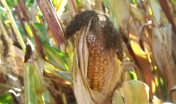 Стебловий метелик пошкодив до 20% посівів кукурудзи