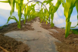 Солодка кукурудза під плівкою дає до трьох урожаїв на рік