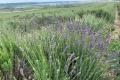 У Криму через брак води хочуть вирощувати ефіроолійні культури замість зернових