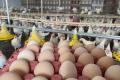 Виробник курячого яйця розповів про найпродуктивніший крос