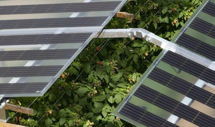 Малину вирощують під сонячними панелями