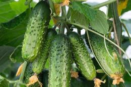 Тепличні огірки від трипсів захищають біоінсектицидом
