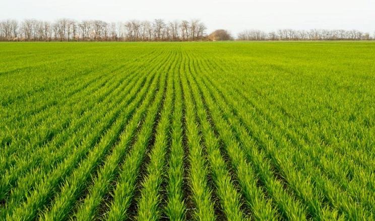 Посівні площі добрих попередників пшениці в Лісостепу скоротилися в рази