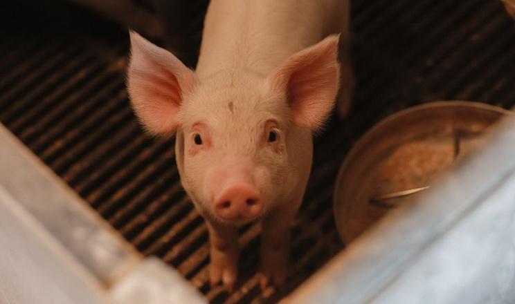 «Дан-Фарм Україна» використовує 50% кукурудзи в кормах для свиней