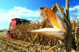 Урожайність кукурудзи на Хмельниччині перевищує 11 т/га