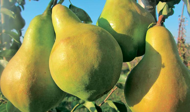 Харчова цінність фруктів: яблуня, груша