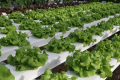Салати найкраще ростуть при 23°С