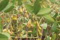 Як зменшити втрати врожаю сої за дощової погоди