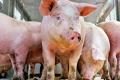 Паразитарні хвороби у свиней остаточно діагностують лише за допомогою лабораторних досліджень