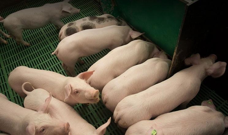 Вирощування свиней без антибіотиків є прибутковим, – Бруннер