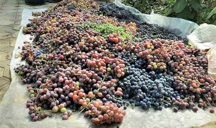 На Одещині почали робити вино нового врожаю