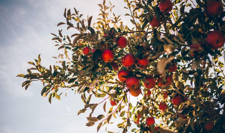 Вікно збирання яблук становить 7-14 днів