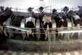 «Кищенці» мінімізували кількість випадків маститу у корів