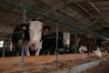 Сімейна ферма «Молочна Рив'єра» планує наростити поголів'я корів до 100
