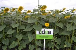 Новинки гібридів соняшнику Lidea з портфелю OR Master Essential®