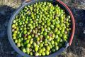 У Криму планують зібрати  700 кг оливок