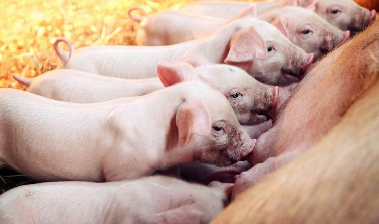 У KSG Agro поросята народжуються вагою 1,3 кг