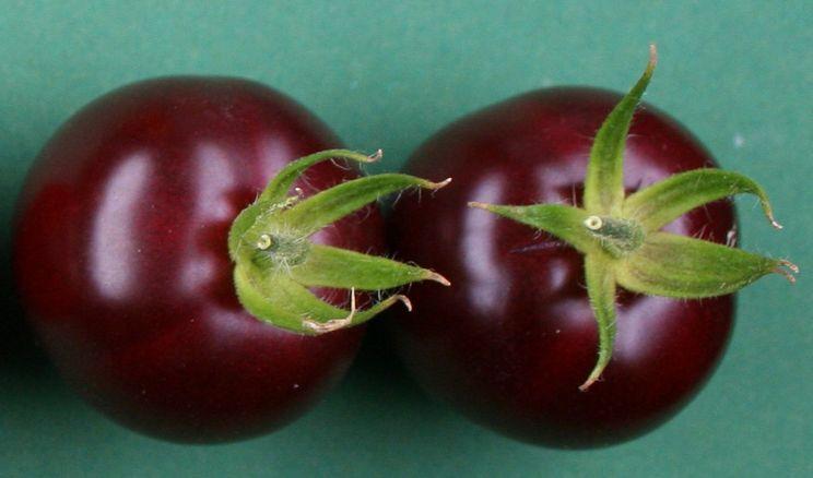 Вчені отримали фіолетові томати з пігментом буряка