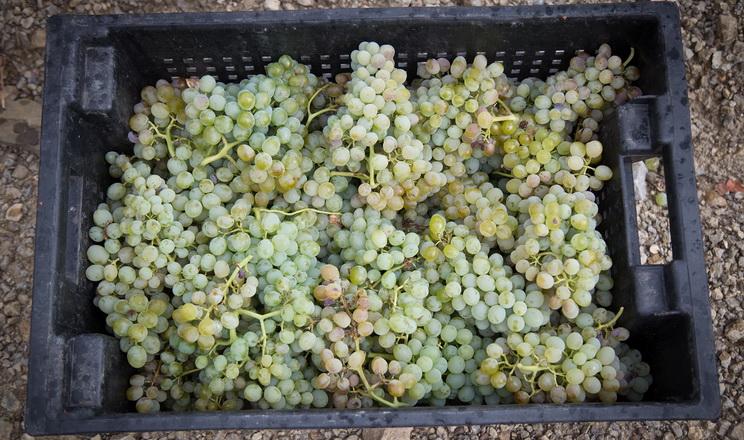 Урожай винограду в Криму очікують на торішньому рівні